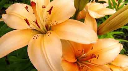 Можно ли сажать лилии весной и как это лучше сделать