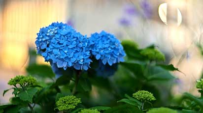 Почему не цветет гортензия Бесконечное лето