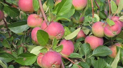 7 достоинств яблони Розовый налив