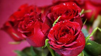 Укрощение строптивых – какие сорта роз выбрать начинающему цветоводу
