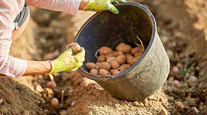 Восемь секретов выращивания картофеля – даешь урожай!