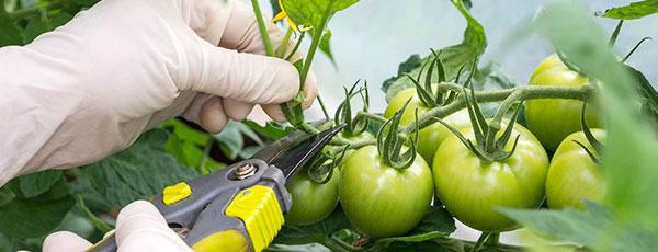 Как пасынковать помидоры – удаляем все лишнее