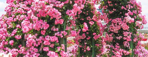 Клаймберы и рамблеры - музыка плетистых роз