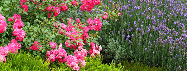 Лаванда и розы – растения-компаньоны