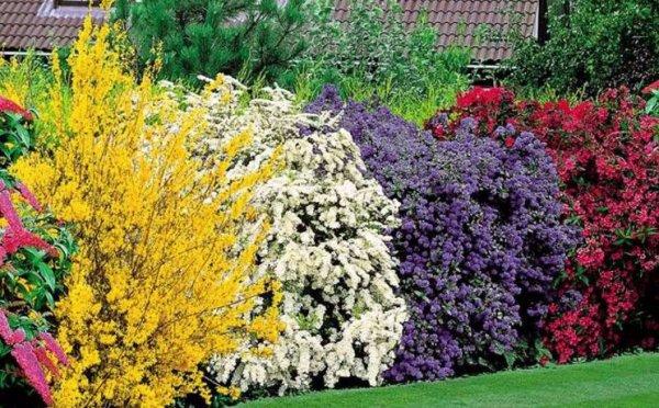 Неприхотливые кустарники на даче для красоты и пользы