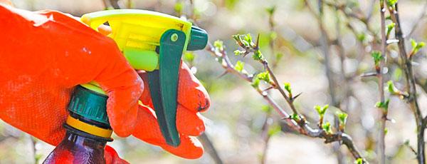 Обработка сада весной: нет болезням и вредителям