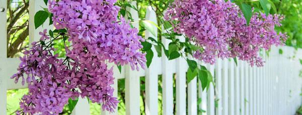 Украшаем сад весной – сажаем душистую сирень