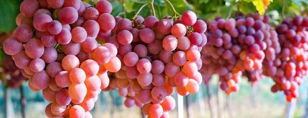 Виноград на даче – весенняя посадка и последующий уход