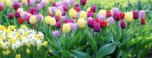 Зачем выкапывать тюльпаны и нарциссы каждый год?