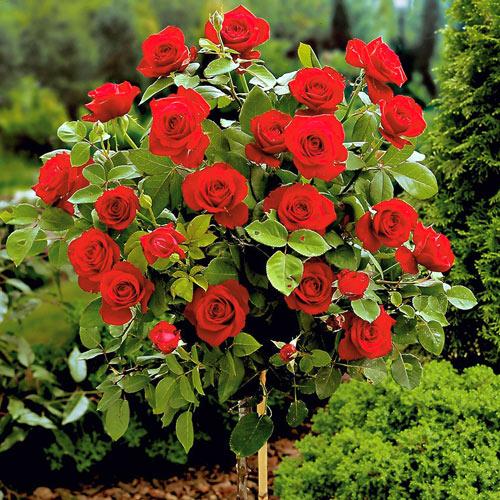 Роза штамбовая красная изображение 1 артикул 6915