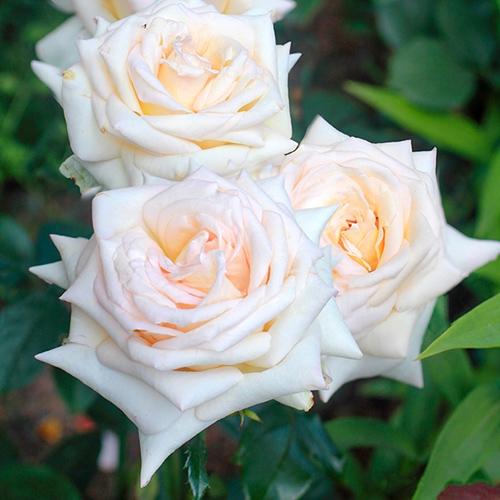 Роза чайно-гибридная Ванилла Парфюм изображение 1 артикул 2110