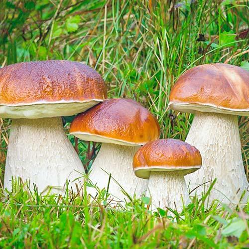Белый гриб изображение 2 артикул 9725