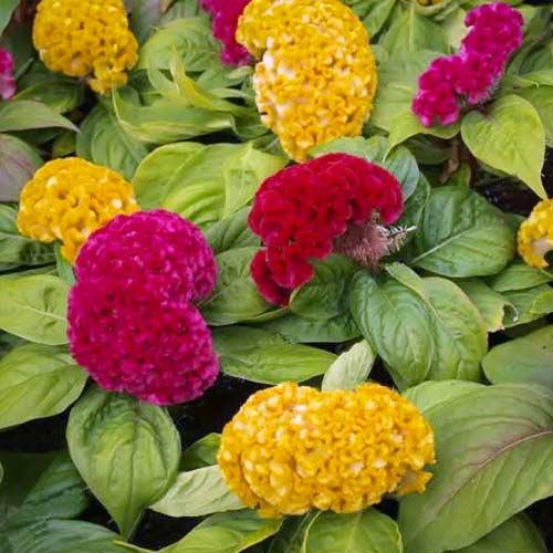 Целозия гребенчатая Коралловый сад, смесь окрасок изображение 1 артикул 66148