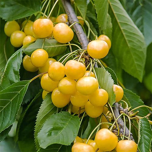 Черешня крупноплодная желтая