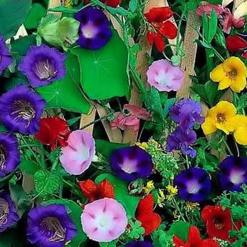 Декоративная смесь Вьющихся однолетников, смесь окрасок изображение 1 артикул 65949