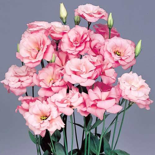 Эустома Эхо розовая F1 изображение 1 артикул 66152