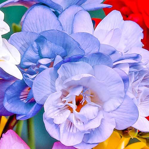 Фрезия Дабл Блю изображение 1 артикул 67151