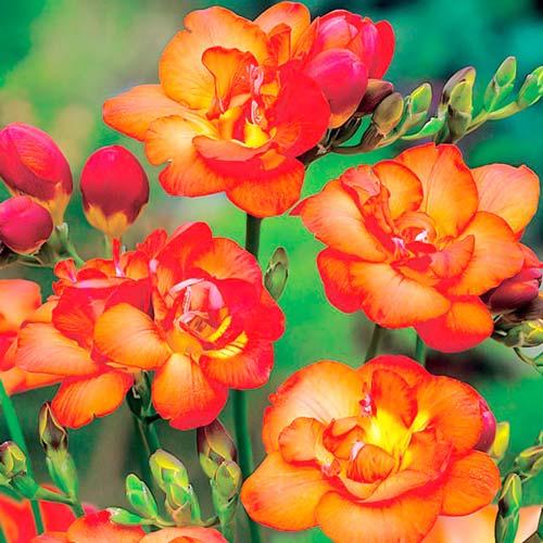 Фрезия Дабл Оранж изображение 1 артикул 67152
