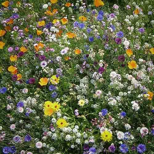 Газон цветущий Сибиряк, смесь окрасок изображение 1 артикул 66187