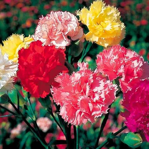Гвоздика Шабо Акварель, смесь окрасок изображение 1 артикул 66056