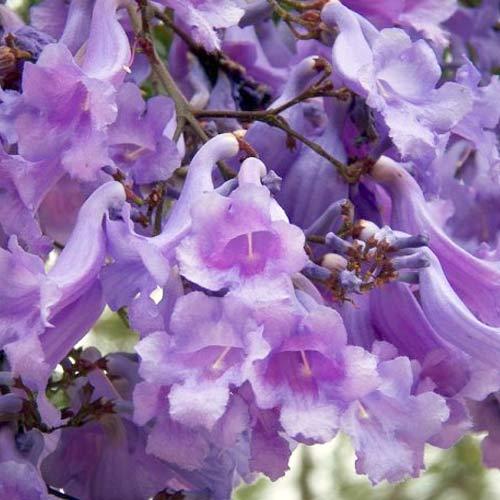 Жакаранда Фиалковое дерево изображение 2 артикул 66071