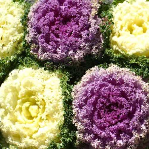 Капуста декоративная Кружевная мозаика, смесь окрасок изображение 1 артикул 66077
