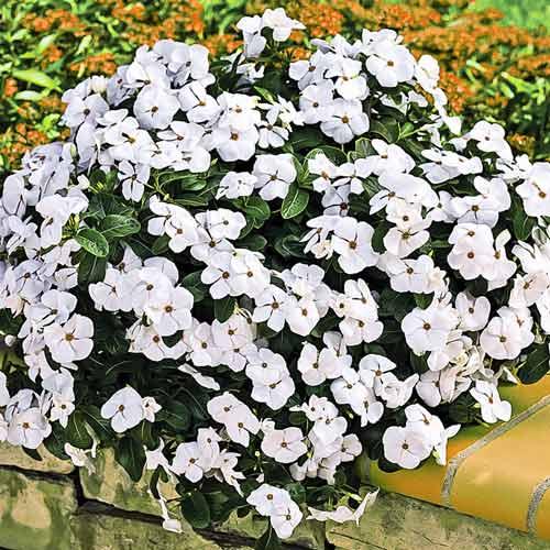 Катарантус Сиеста белый изображение 1 артикул 71191