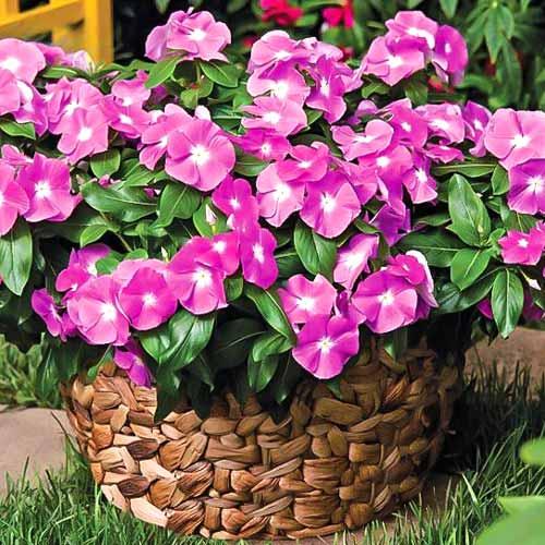 Катарантус Сиеста розовый изображение 1 артикул 71193