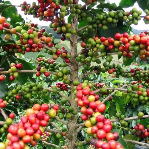 Кофе арабика Нана изображение 3 артикул 65849