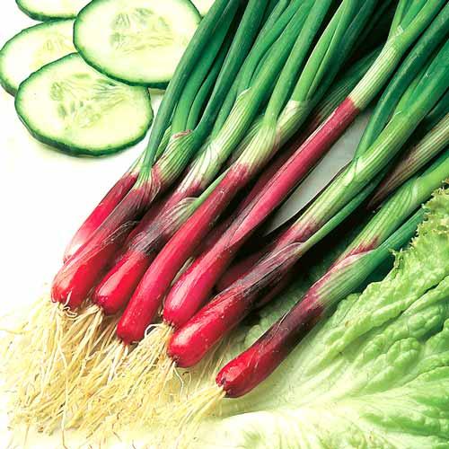 Лук на зелень Красное перо изображение 1 артикул 65021