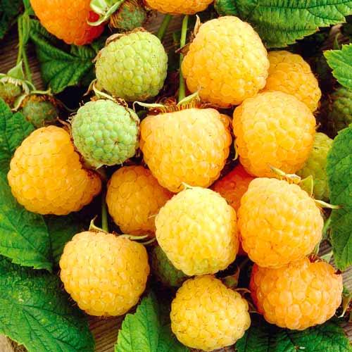 Малина Желтая ягодка изображение 1 артикул 65252