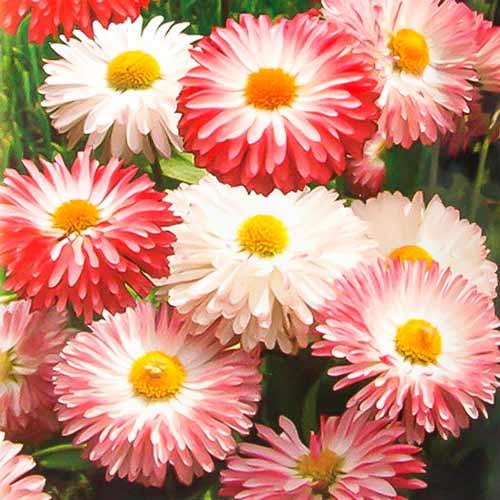 Маргаритка Снежная королева, смесь окрасок изображение 1 артикул 69953
