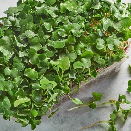 Микрозелень Дайкон изображение 1 артикул 69902