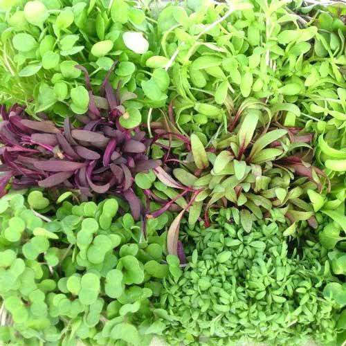 Микрозелень Пикантная, смесь семян изображение 1 артикул 65274