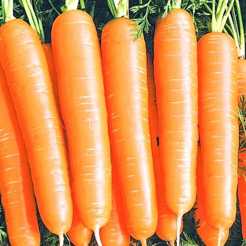 Морковь Алтайская сахарная изображение 1 артикул 74183