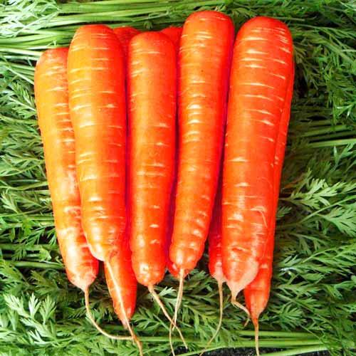 Морковь Карамель красная изображение 1 артикул 65026