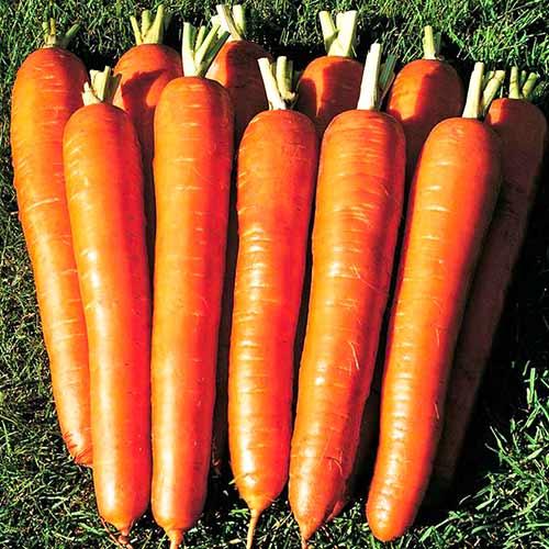 Морковь Сахарный гигант изображение 1 артикул 74185