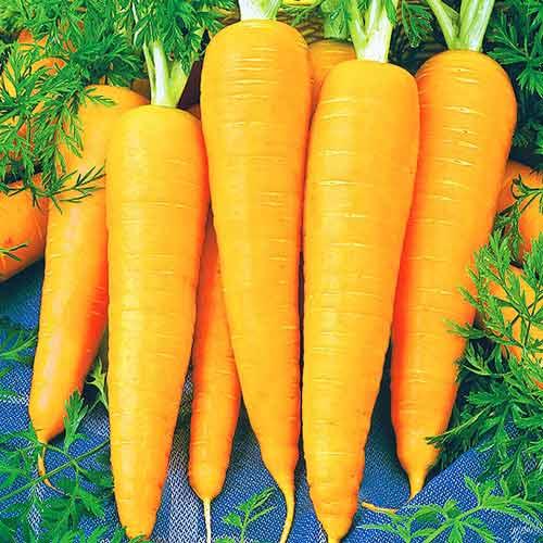 Морковь Янтарный плов изображение 1 артикул 71627