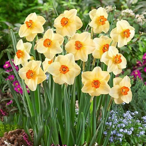 Нарцисс мелкокорончатый Альтруист изображение 1 артикул 67428