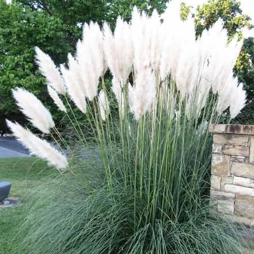 Пампасная трава Белый шлейф изображение 1 артикул 65853