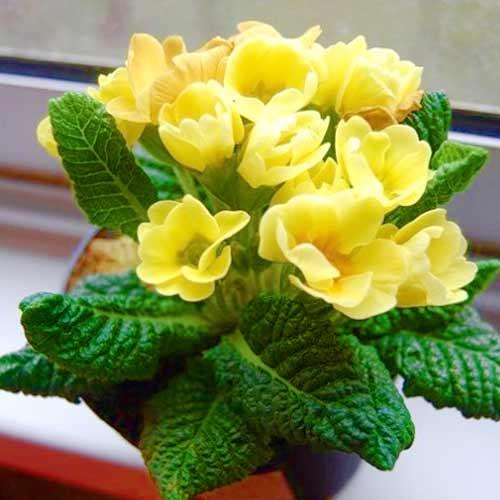 Примула махровая Розанна желтая F1 изображение 1 артикул 65899