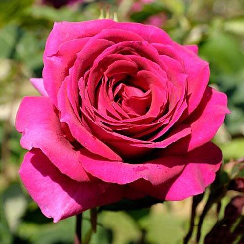 Роза чайно-гибридная Биг Перпл изображение 1 артикул 2105