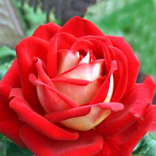 Роза чайно-гибридная Биколетте изображение 1 артикул 2106
