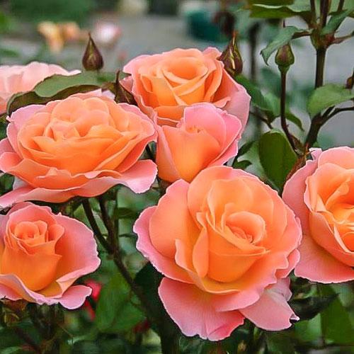 Роза чайно-гибридная Экзотика изображение 1 артикул 2144