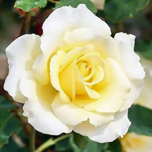 Роза чайно-гибридная Элина изображение 1 артикул 2145