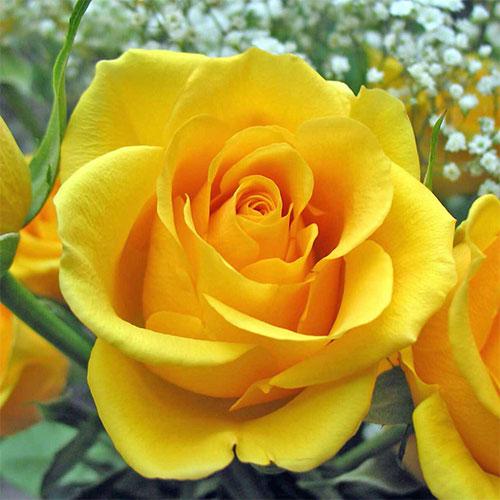 Роза чайно-гибридная Голден Моника изображение 1 артикул 2113