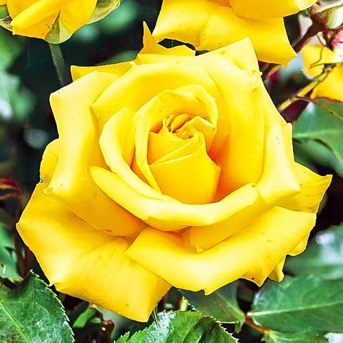 Роза чайно-гибридная Казанова изображение 1 артикул 2120