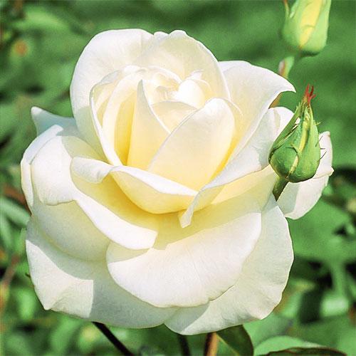 Роза чайно-гибридная Паскали изображение 1 артикул 2130