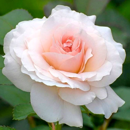 Роза чайно-гибридная Сильвия изображение 1 артикул 2137