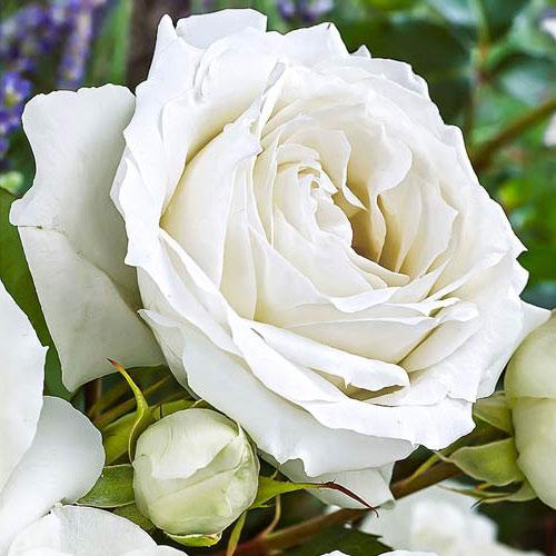 Роза чайно-гибридная Вайт Симфони изображение 1 артикул 2111